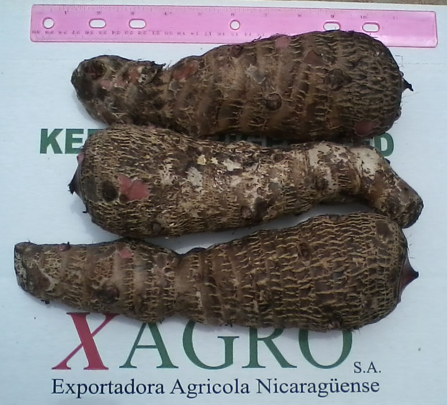 Fresh Malanga from Xagro